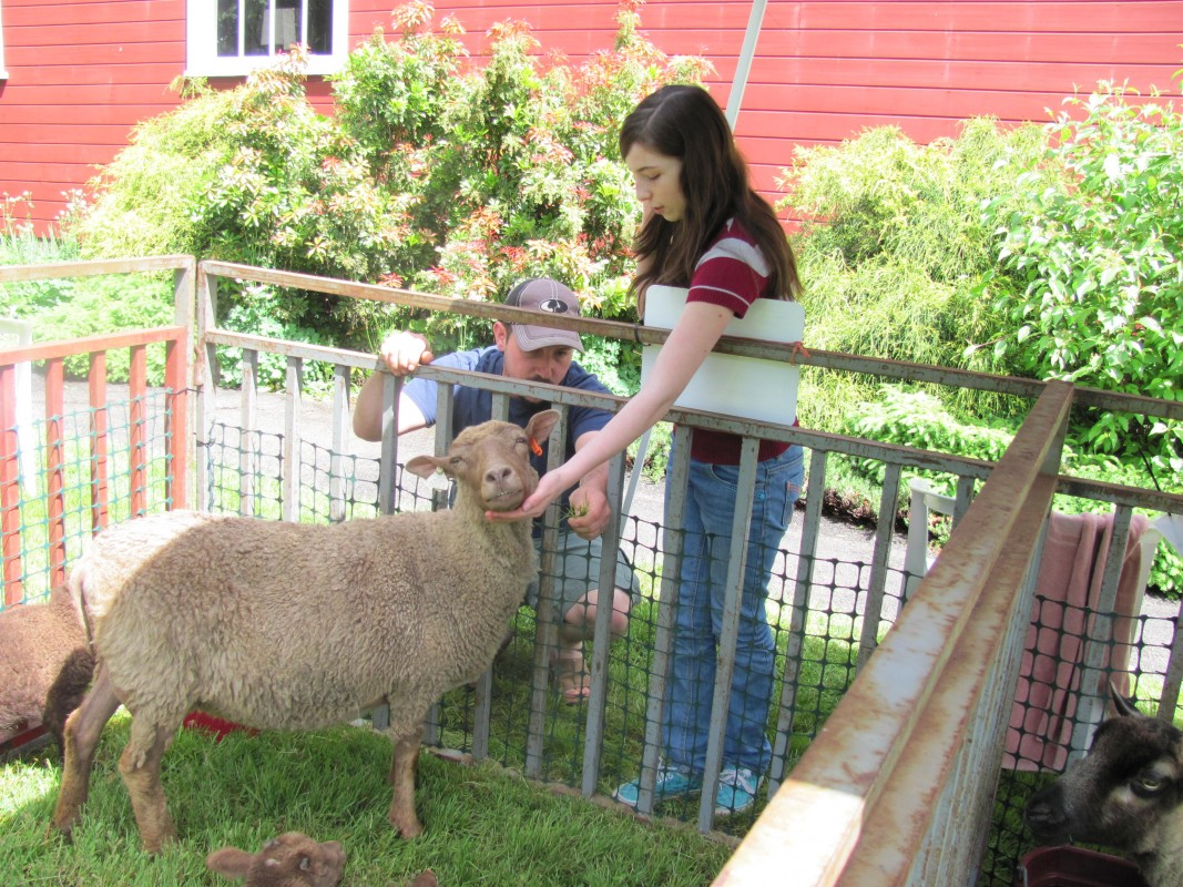 A sheep interacts with a girl at the Willamette Heritage Center's Sheep to Shawl event